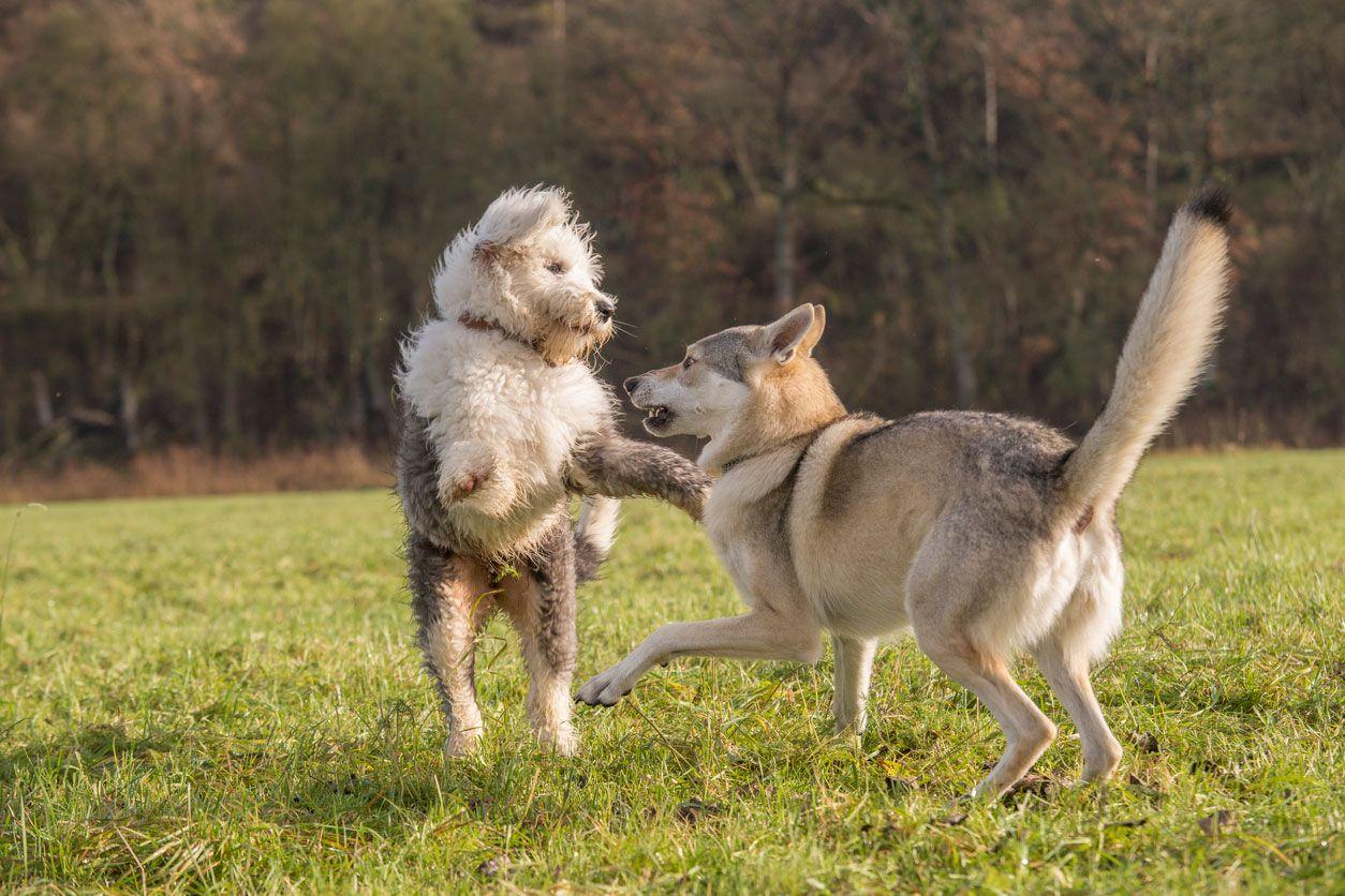Carácter del perro lobo checoslovaco.