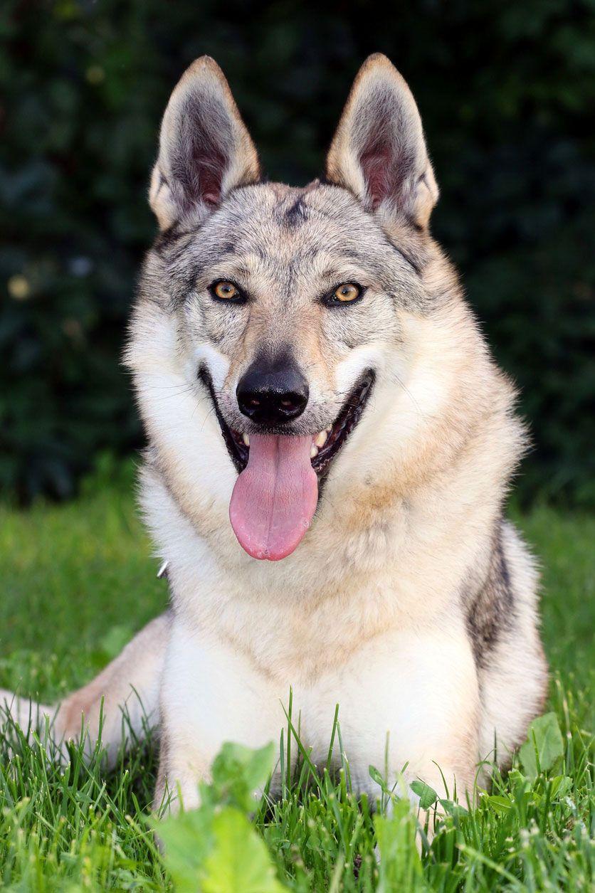 Características físicas del perro lobo checoslovaco.