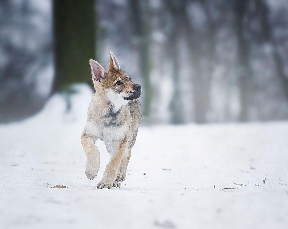 Cómo educar al perro lobo checoslovaco.