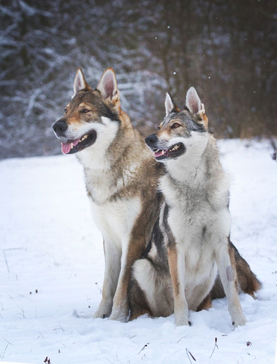 Castración y salud del perro lobo checoslovaco.
