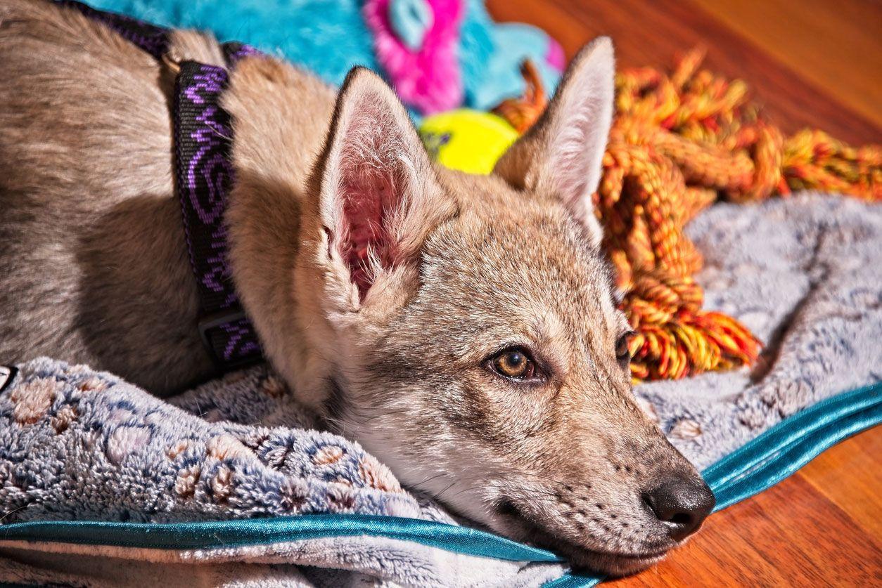 Diferencias entre el perro lobo checoslovaco y el perro lobo saarloos.