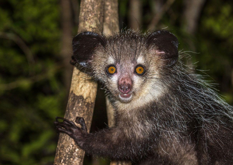 Aye-aye, primate endémico de Madagascar.