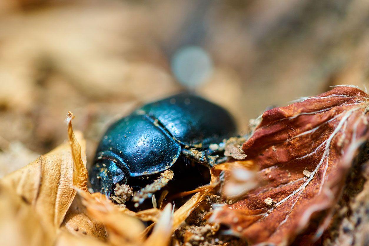 El escarabajo de la suerte egipcio.