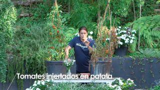 Resultado de injertar una tomatera en un planta de patata - Detalle
