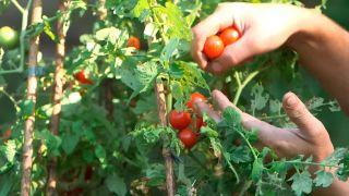 Resultado de injertar una tomatera en un planta de patata - Tomates cherrys