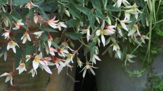 Composición con cóleos en tonos ocres - Begonia boliviensis