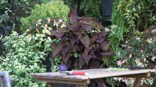 Composición con cóleos en tonos ocres - Ipomoea batata