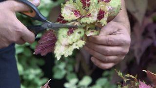 Cómo esquejar cóleos - Eliminar y reducir las hojas