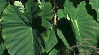 Jardín con plantas acuáticas de hoja verde - Alocasia