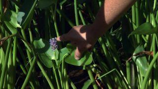 Jardín con plantas acuáticas de hoja verde - Pontederia cordata flor