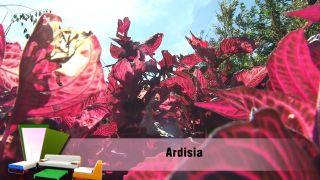 Jardín en otoño con plantas de follaje rosa - Ardisia
