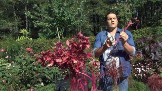 Jardín en otoño con plantas de follaje rosa - Ardisia esquejes