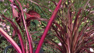 Jardín en otoño con plantas de follaje rosa - Composición floral con acelga ornamental