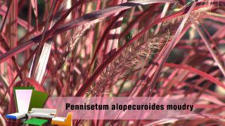 Jardín en otoño con plantas de follaje rosa - Pennisetum alopecuroides moudry