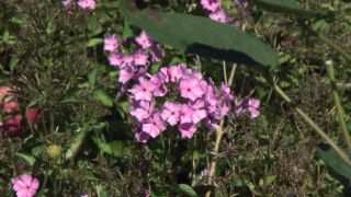 Jardín en otoño con plantas de follaje rosa - Phlox paniculata