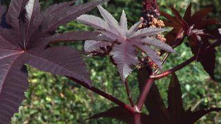 Jardín en otoño con plantas de follaje rosa - Ricino