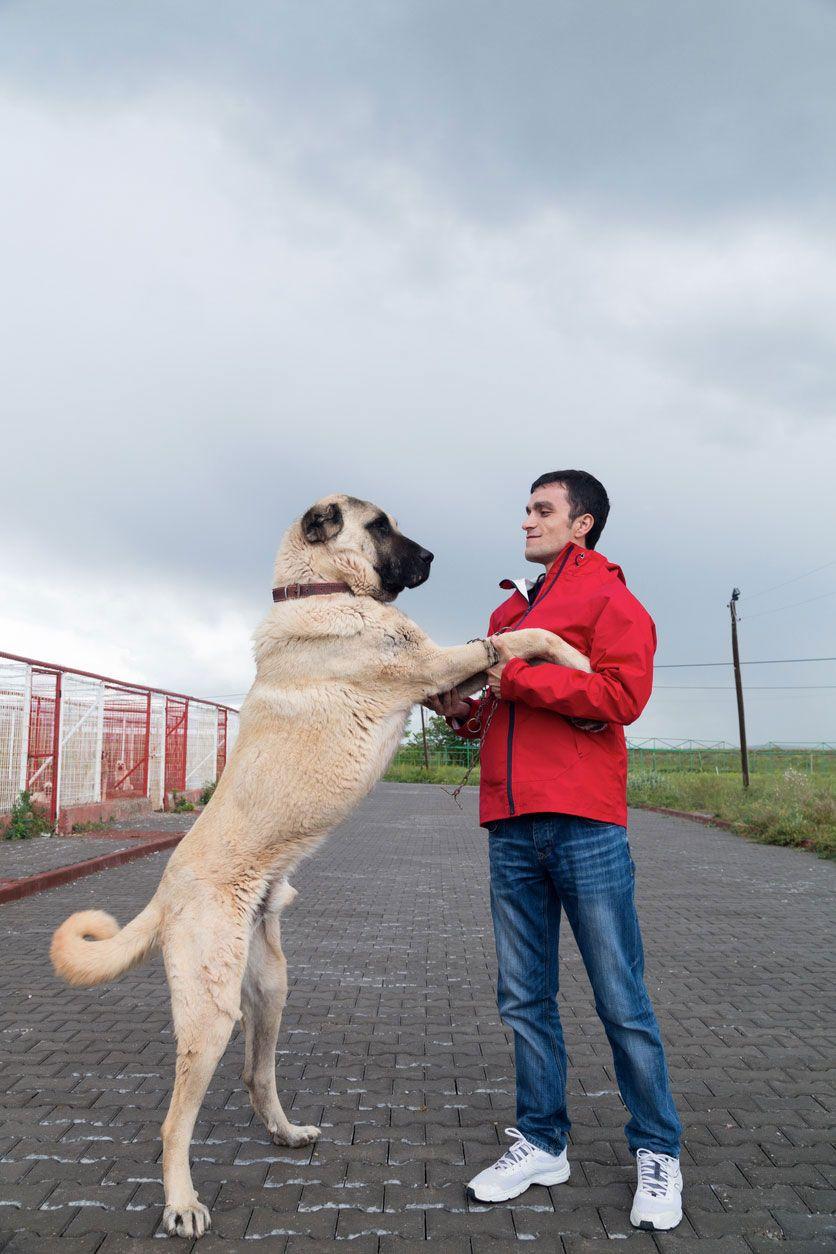 Kangal turco, un perro de talla gigante.