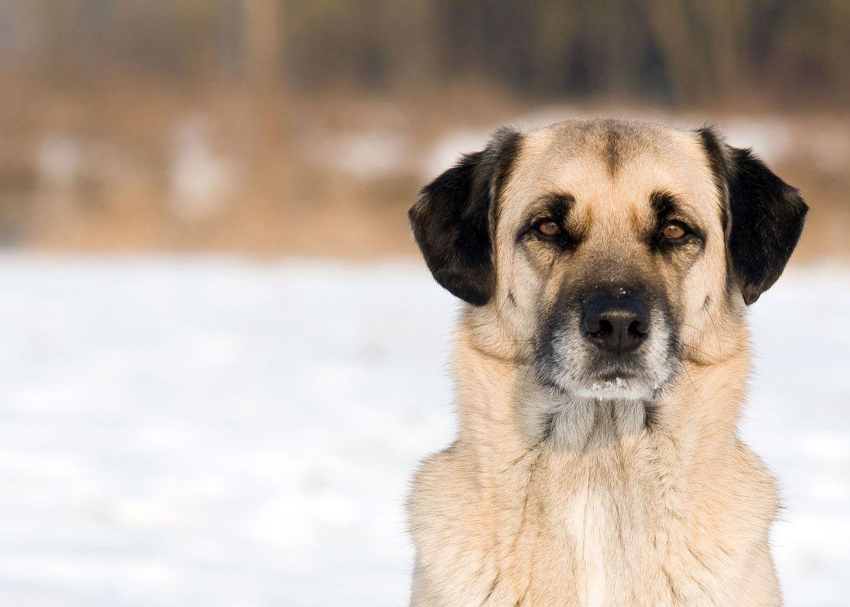 Kangal turco, un perro de carácter equilibrado y tranquilo.