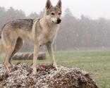 Perro lobo checoslovaco.