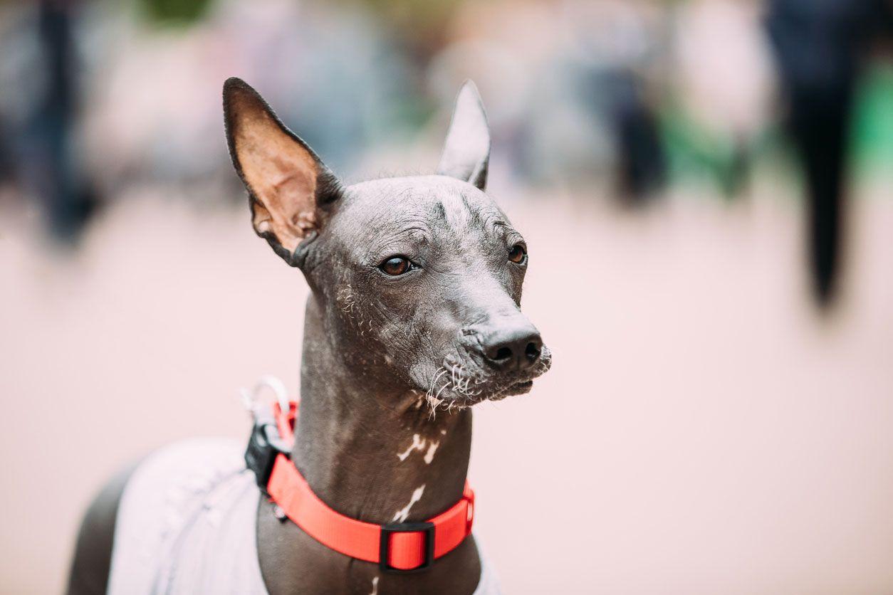 Xoloitzcuintle, el perro de las leyendas mexicanas.