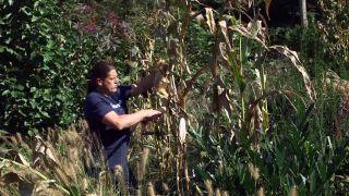 El mijo y el maíz negro - Cosecha del maíz