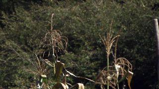 El mijo y el maíz morado - Maíz espiga central