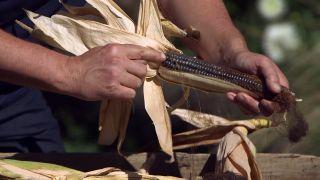 El mijo y el maíz negro - Granos de maíz morado