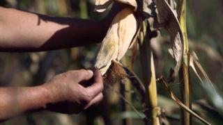 El mijo y el maíz morado - Mazorca