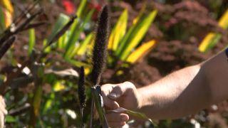 El mijo y el maíz negro - Espiga central