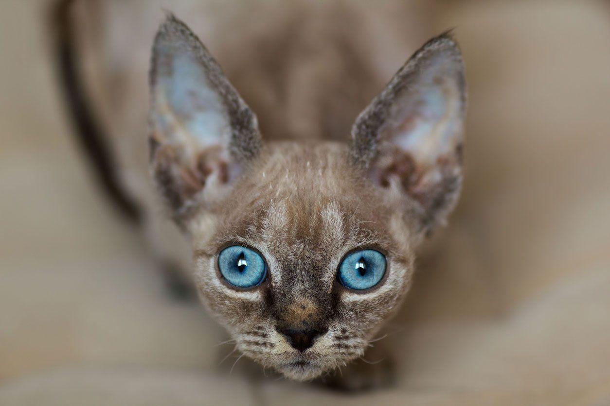 Los gatos cornish tiene unas grandes orejas.
