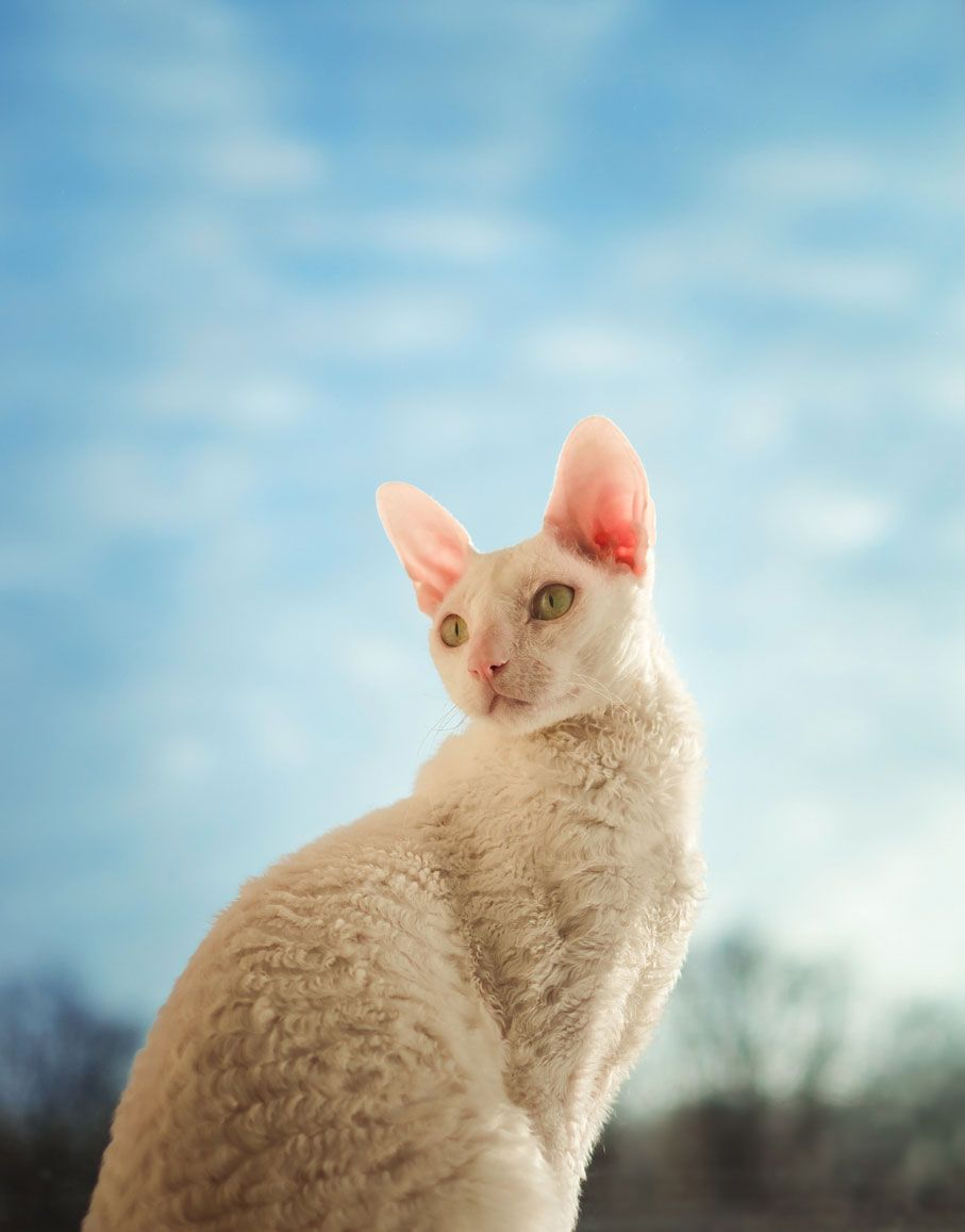 Gato cornish blanco.