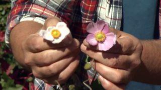 Anémona japónica o anémona híbrida - Flor
