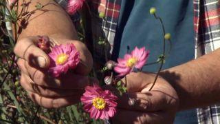 Anémona japónica o anémona híbrida - Variedad flor doble