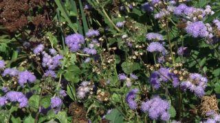 Parterre otoñal con plantas de flor de temporada - Ageratum