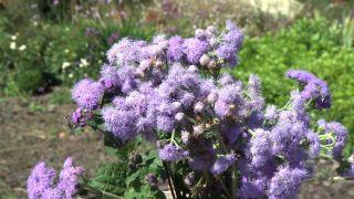 Parterre otoñal con plantas de flor de temporada - Composición floral Ageratum