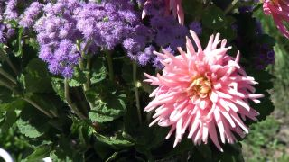 Parterre otoñal con plantas de flor de temporada - Composición floral Dalias