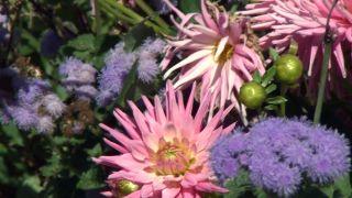 Parterre otoñal con plantas de flor de temporada - Dalias