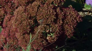 Parterre otoñal con plantas de flor de temporada - sedum spectabile