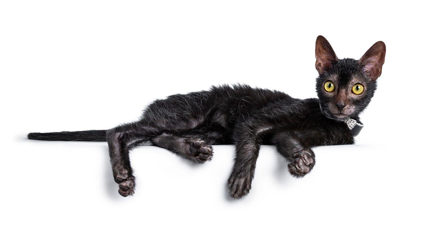 Carácter de los gatos Lykoi.