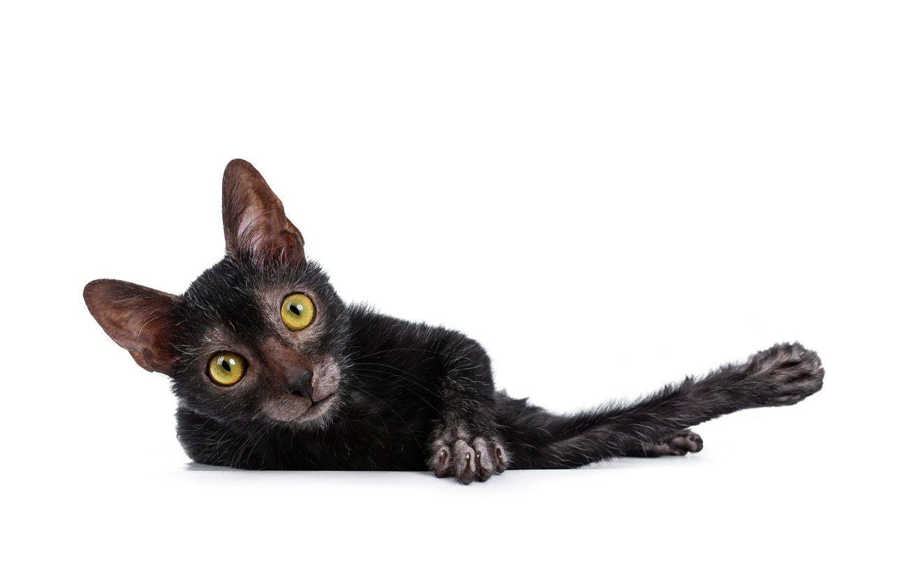 El gato lykoi lucha por ser una raza real.