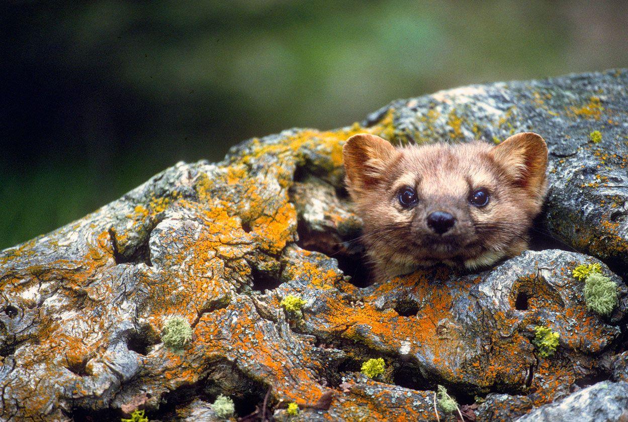 Las martas se esconden en pequeños huecos.