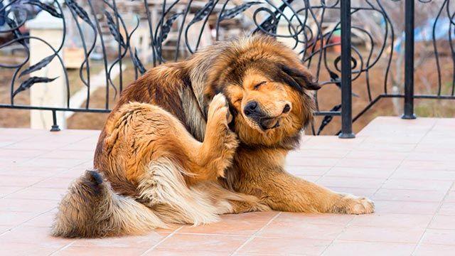 Perro rascándose por los picores