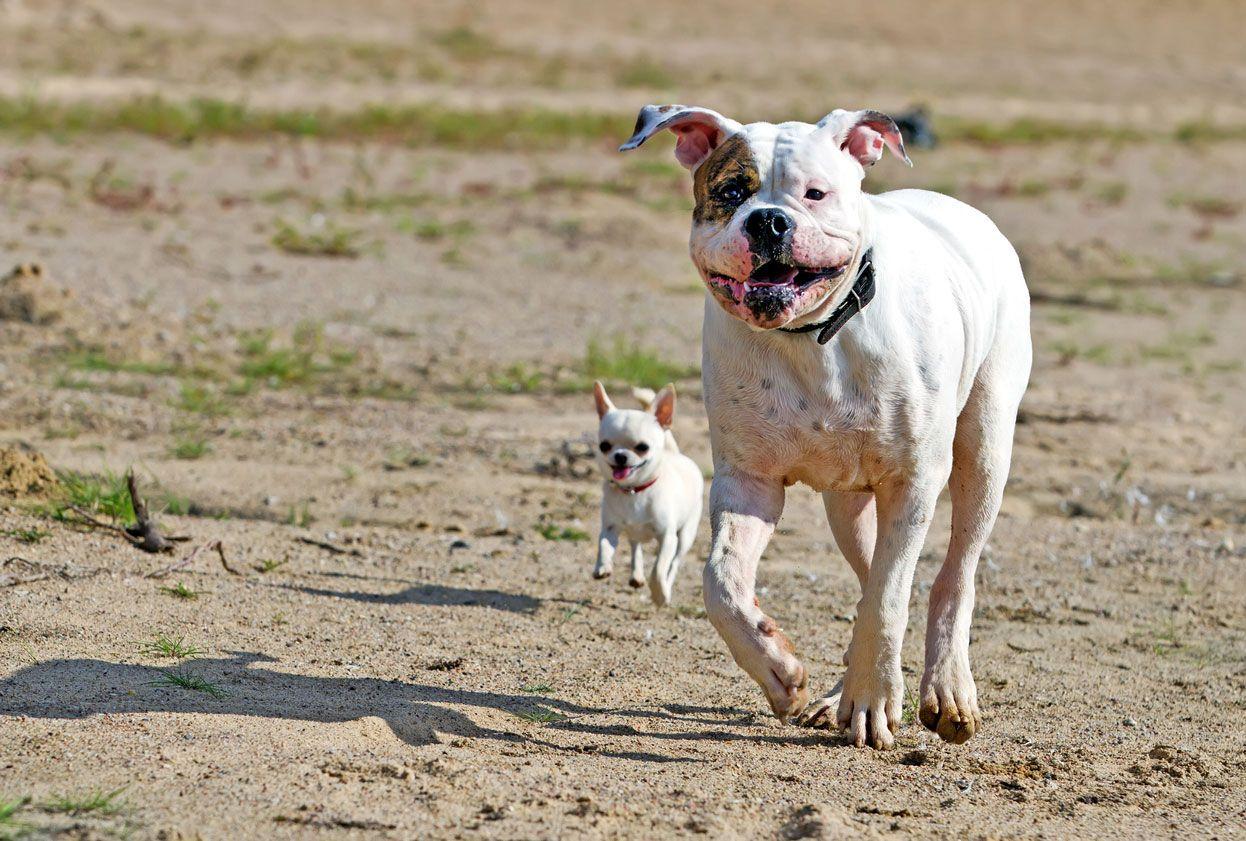 Los perros pequeños no son más agresivos.