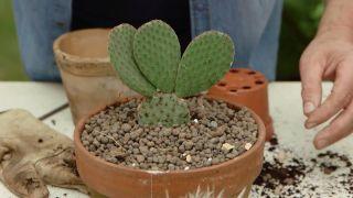 Características del cactus opuntia