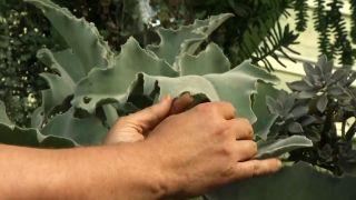 Plantas de hojas grises y azules