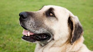 Kangal turco: Un perro de talla gigante