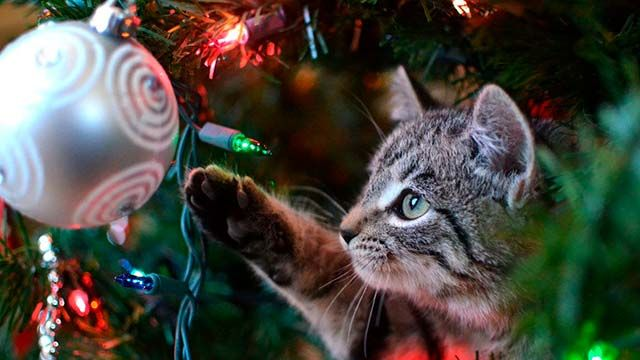 Las luces del árbol de Navidad despiertan la curiosidad de los gatos.
