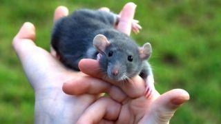 Las ratas como mascota: un animal sociable y cariñoso