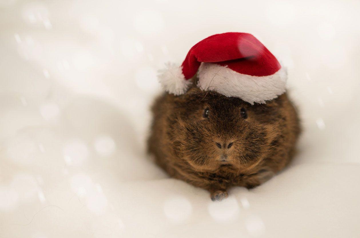 Cómo hacer sesiones de fotos navideñas a mascotas.