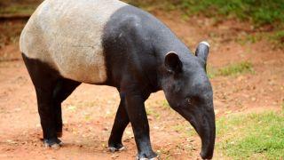 Tapir Malayo: Uno de los animales más primitivos